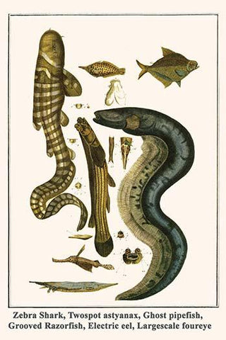 Zebra Shark, Twospot astyanax, Ghost pipefish, Grooved Razorfish, Electric eel, Largescale foureye