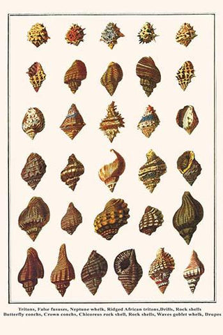 Conchs, Whelks, Tritons, False fususes, Drills, Rock shells, Chicoreus rock shell, Rock shells, and Drupes