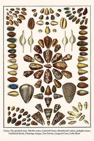 Cone shells plus Shuttlecock volvas, Umbilical Ovula, Flamingo tongue, Cat Cowrie, and the Coffe Bean