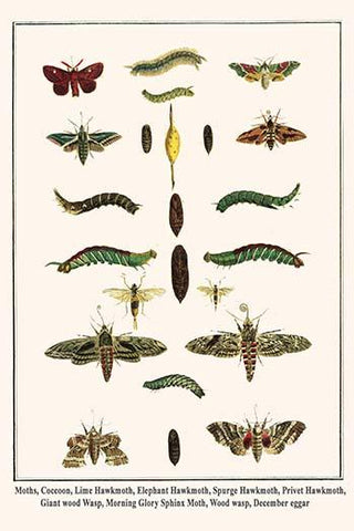 Hawkmoths and their Stages