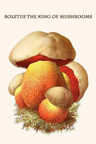 Boletus the king of mushrooms #14