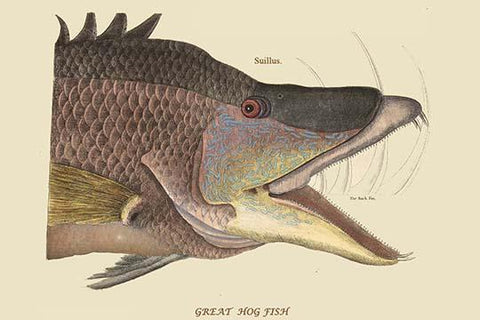 Great Hog Fish