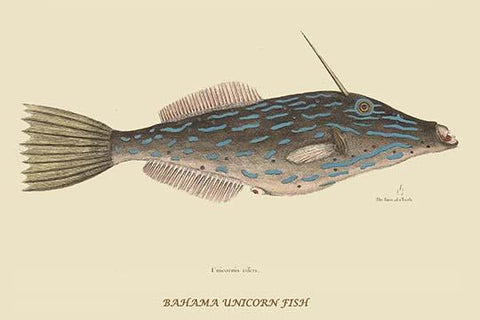 Bahama Unicorn Fish