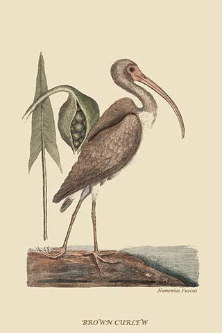 Brown Curlew