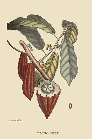 Cacao or Chocolate Tree