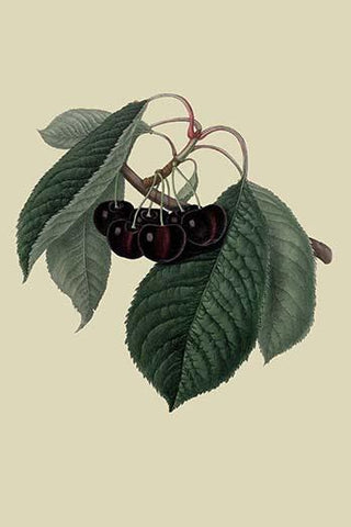 Black Circassian Cherry