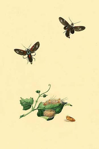 Surinam Butterflies, Moths & Caterpillars  (Plate 37)