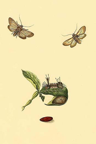 Surinam Butterflies, Moths & Caterpillars  (Plate 38)