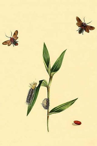 Surinam Butterflies, Moths & Caterpillars  (Plate 85)