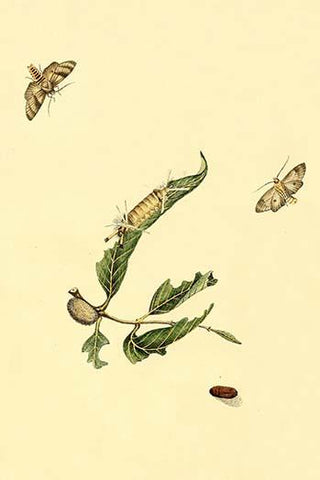 Surinam Butterflies, Moths & Caterpillars  (Plate 103)