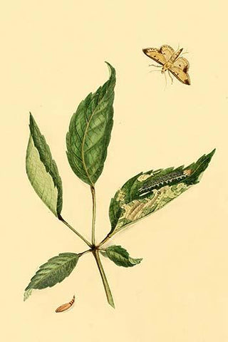 Surinam Butterflies, Moths & Caterpillars  (Plate 113)