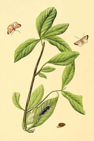 Surinam Butterflies, Moths & Caterpillars  (Plate 130)