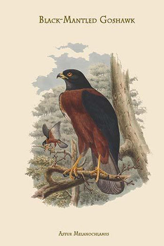 Astur Melanochlamys - Black-Mantled Goshawk