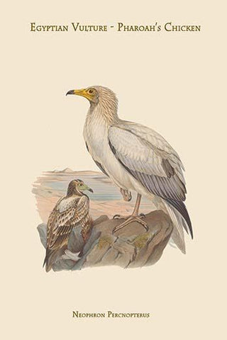 Neophron Percnopterus - Egyptian Vulture - Pharoah's Chicken -