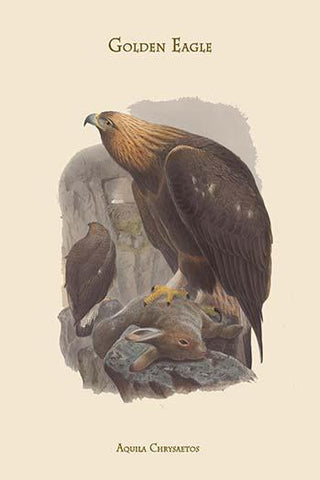 Aquila Chrysaetos - Golden Eagle