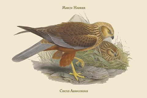 Circus Aeruginisus - March Harrier