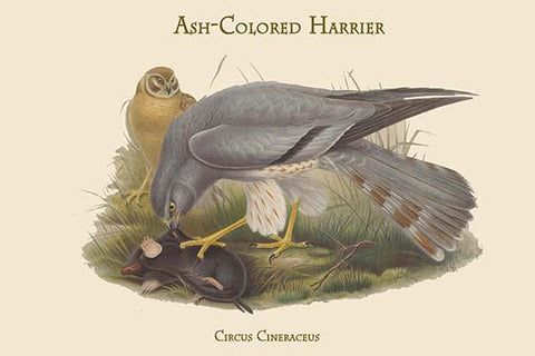 Circus Cineraceus - Ash-Colored Harrier