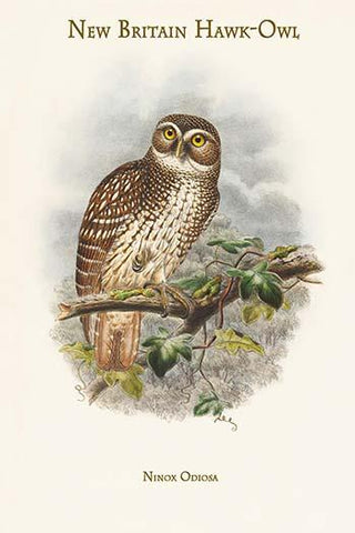 Ninox Odiosa - New Britain Hawk-Owl