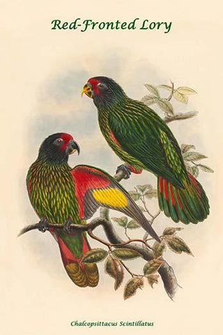 Chalcopsittacus Scintillatus - Red-Fronted Lory