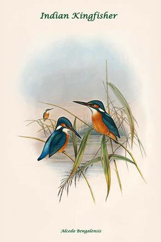 Alcedo Bengalensis - Indian Kingfisher