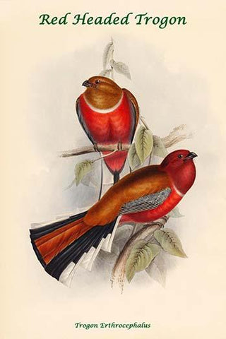 Trogon Erthrocephalus - Red Headed Trogon