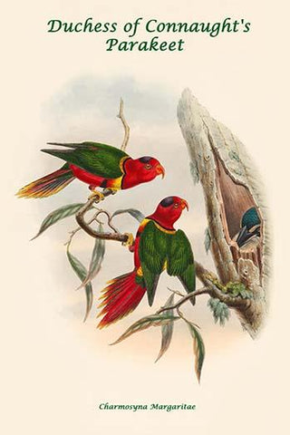 Charmosyna Margaritae - Duchess of Connaught's Parakeet