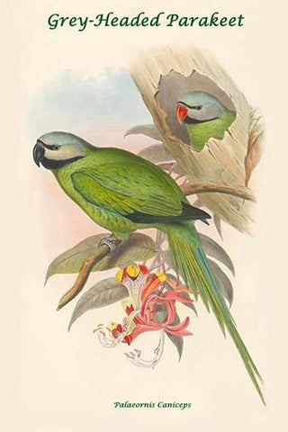 Palaeornis Caniceps - Grey-Headed Parakeet