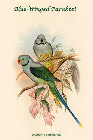 Palaeornis Columboides - Blue-Winged Parakeet