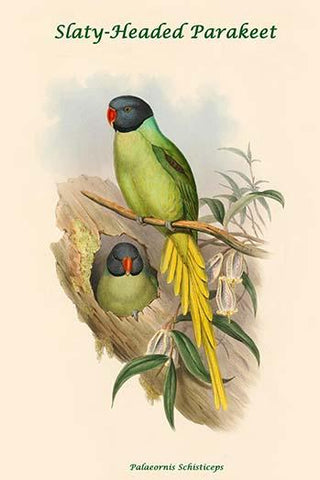 Palaeornis Schisticeps - Slaty-Headed Parakeet