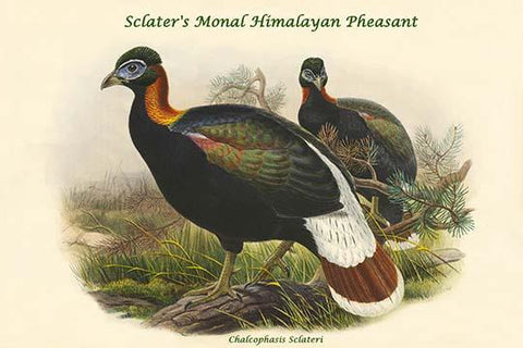Chalcophasis Sclateri - Sclater's Monal Himalayan Pheasant