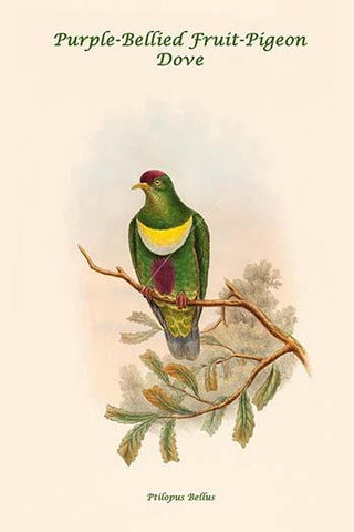 Ptilopus Bellus - Purple-Bellied Fruit-Pigeon - Dove