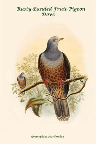 Gymnophaps Poecilorrhoa - Rusty-Banded Fruit-Pigeon - Dove