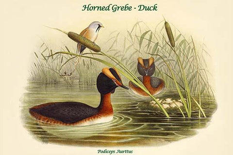 Podiceps Aurttus - Horned Grebe - Duck