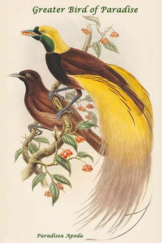 Paradisea Apoda - Greater Bird of Paradise