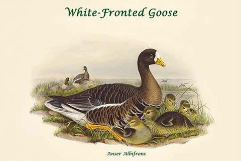 Anser Albifrons - White-Fronted Goose