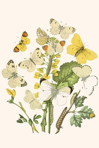 European Butterflies & Moths  (Plate 5)