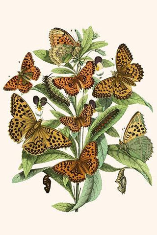 European Butterflies & Moths  (Plate 10)