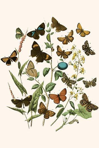 European Butterflies & Moths  (Plate 17)