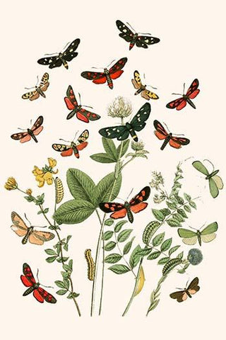 European Butterflies & Moths  (Plate 23)