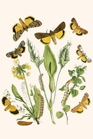 European Butterflies & Moths  (Plate 39)