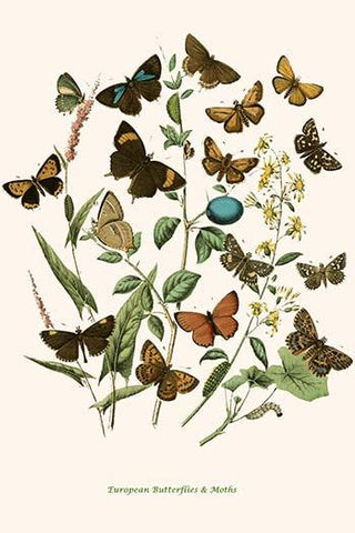 European Butterflies & Moths  (Plate 79)