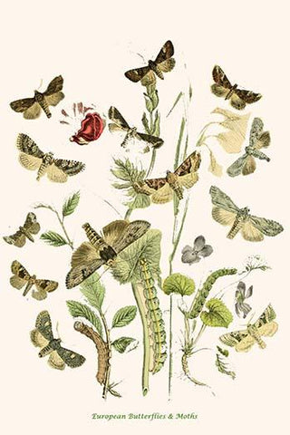 European Butterflies & Moths  (Plate 105)