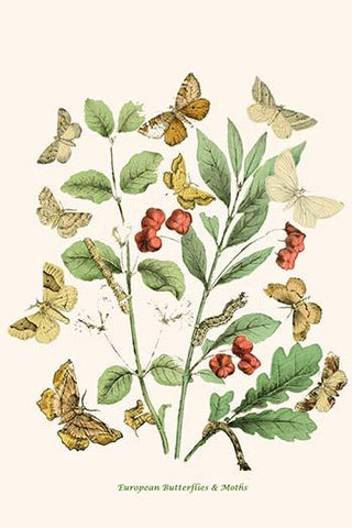 European Butterflies & Moths  (Plate 114)