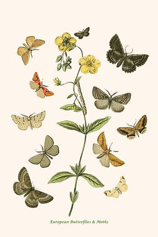 European Butterflies & Moths  (Plate 115)