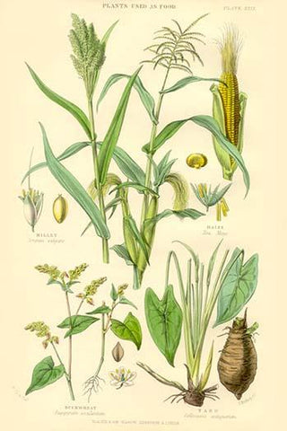 Plants used as Food. Millet, Maize, Buckwheat, Taro