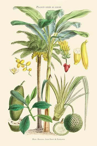 Plants used as food. Date, Banana, Jack Fruit, Pandanus