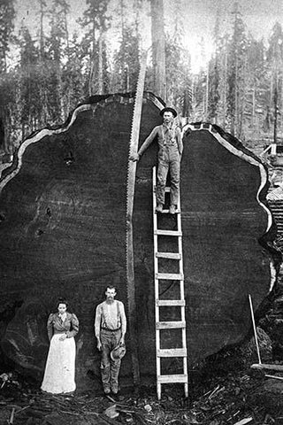 Giant Sequoia Log
