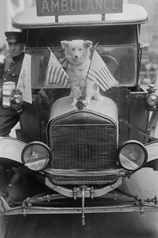 Dolly, a dog sits on the front of a Ambulance hood betwixt US flags