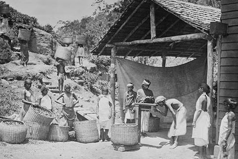 Weighing Ceylon Tea