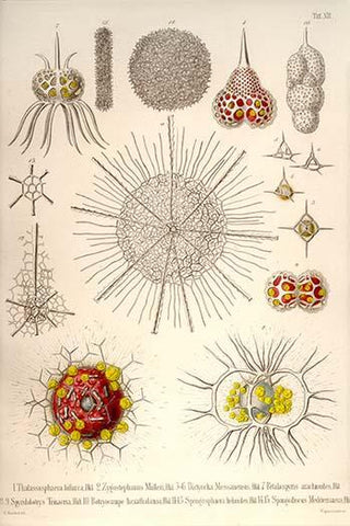 Spongospaera heliodes and Others